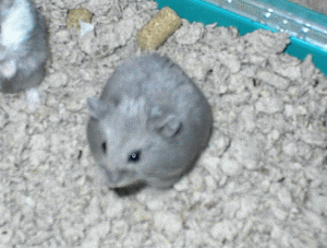 Blue Berry Dwarf Hamster