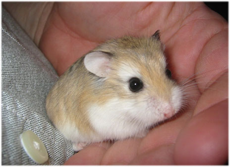 Baby Images Photos on Myhammie   Roborovski Dwarf Hamster